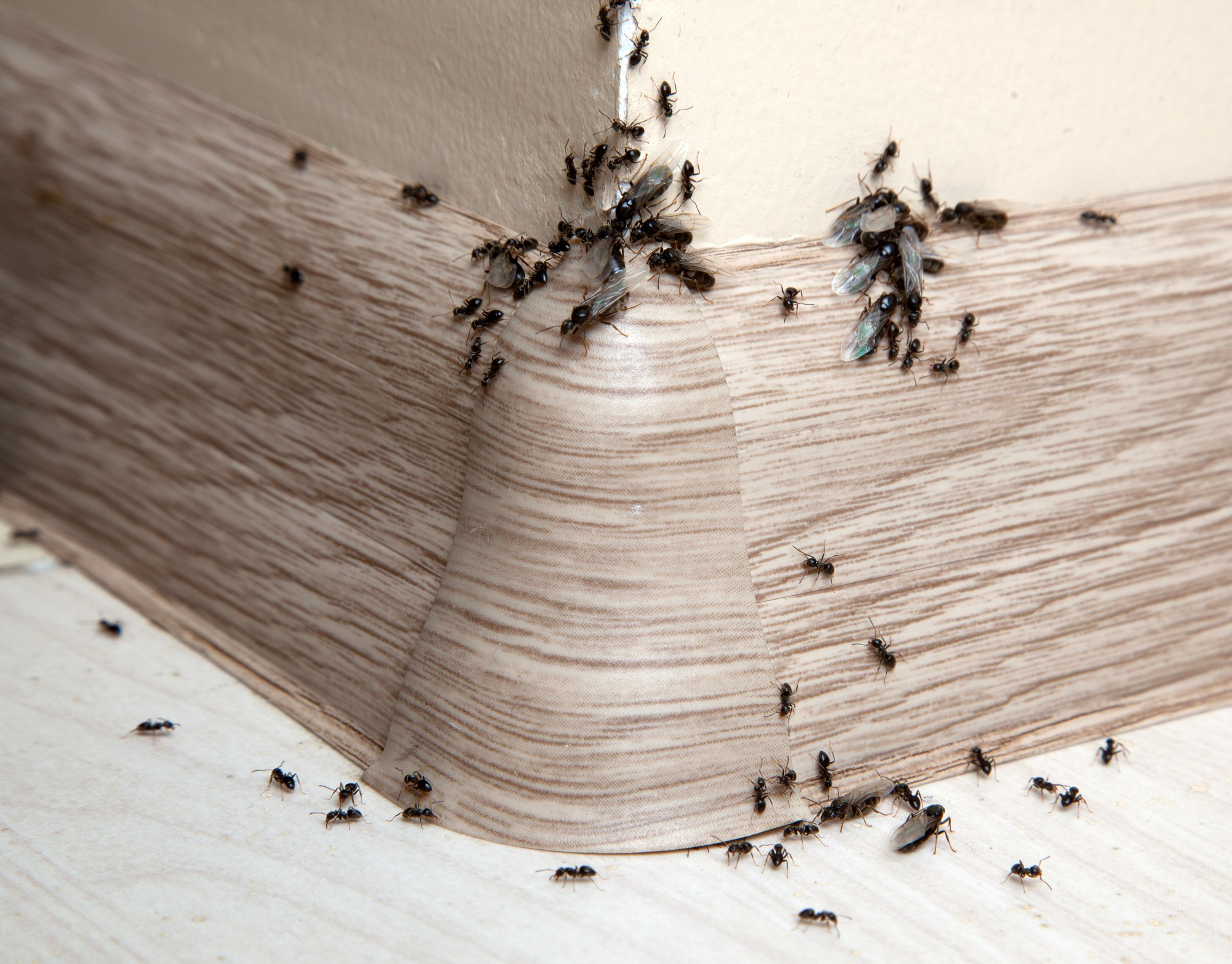 Ant Infestation, Pest Control in New Malden, KT3. Call Now 020 8166 9746
