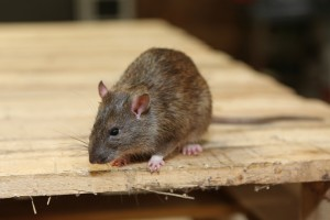Rodent Control, Pest Control in New Malden, KT3. Call Now 020 8166 9746