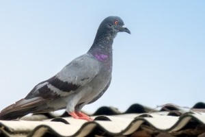 Pigeon Control, Pest Control in New Malden, KT3. Call Now 020 8166 9746