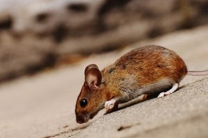 Mice Control, Pest Control in New Malden, KT3. Call Now 020 8166 9746